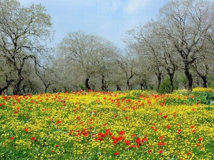 Газон (мавританский) цветущий. 10 фото