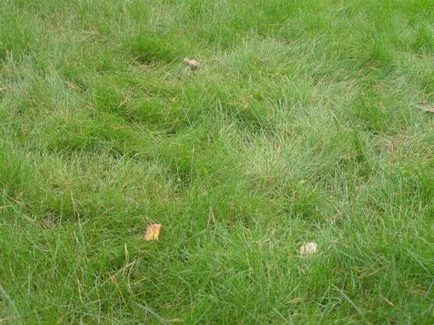 Используем овсяницу для газона. 9